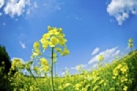 Canola oil study provides more evidence of benefits of MUFA-rich diet