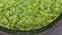 "The water lentil: The ""world's most nutritionally complete and sustainable food source?"