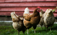 Sourcing slower-growing chickens pits animal welfare, environmental concerns against each other