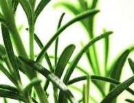 Kalsec's line of natural antioxidants is based on rosemary extract.