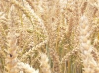 Celiac Disease Foundation, plant geneticist, challenge report linking GMOs to celiac disease, gluten sensitivity