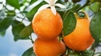 Citrus fiber is a clean label alternative to mono and diglycerides, carageenan, titanium dioxide and other ingredients featuring on retailers' 'unacceptable ingredients' lists, says Fiberstar