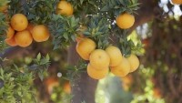 The UCR citrus variety collection houses more than 1,000 citrus varieties