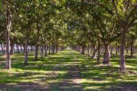Almost all of the walnuts grown in the US are grown in California, but the state supplies only about 40% of the world's walnut crop. Photo courtesy of the California Walnut Board.