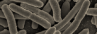 USDA explores faster E.coli detection method