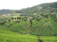 Third Street sources its teas in the Nilgiri region of southern India